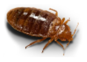 Bed Bug South Florida
