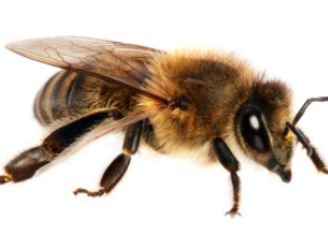 Bee Removal South Florida