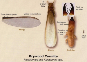 Drywood Termites South Florida