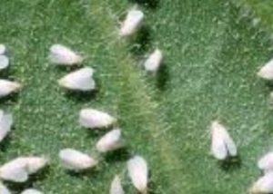 Whiteflies Control South Florida